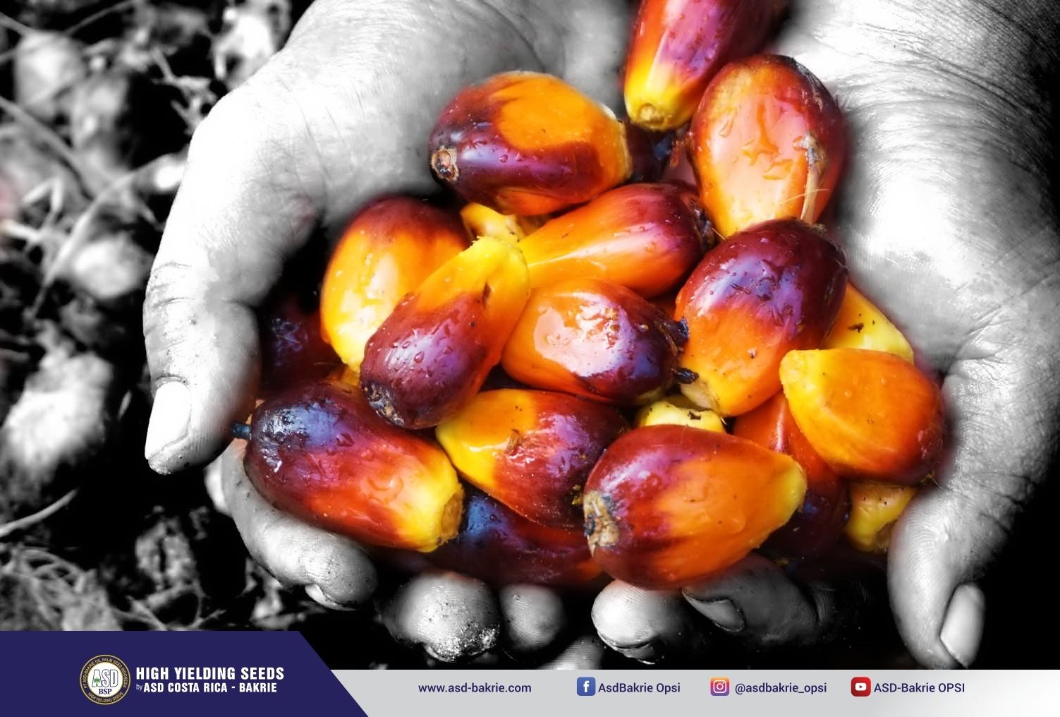 Varietas DxP Spring - produk unggulan PT ASD-Bakrie Oil Palm Seed Indonesia